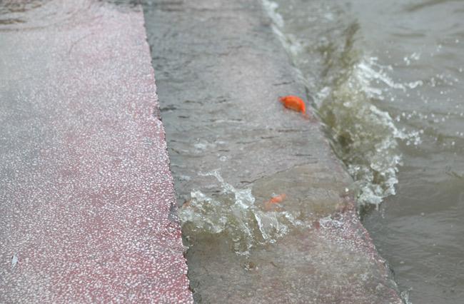 Ra Hồ Tây, cá chép Ông Táo gặp sóng to, gió lớn - 4