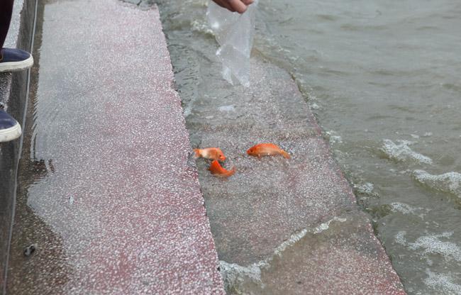Ra Hồ Tây, cá chép Ông Táo gặp sóng to, gió lớn - 3