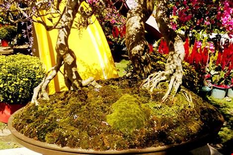 Ngỡ ngàng ngắm cây mai lạ có hoa màu... tím - 2