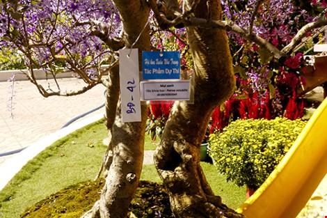 Ngỡ ngàng ngắm cây mai lạ có hoa màu... tím - 3