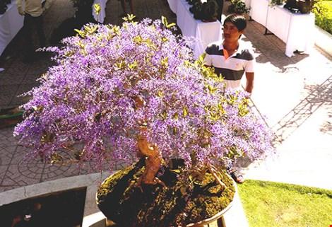 Ngỡ ngàng ngắm cây mai lạ có hoa màu... tím - 5