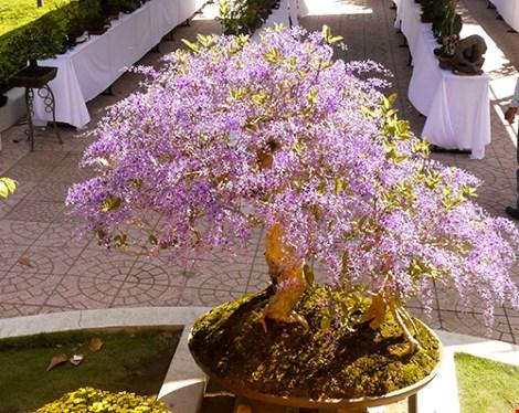 Ngỡ ngàng ngắm cây mai lạ có hoa màu... tím - 7