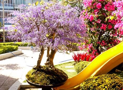 Ngỡ ngàng ngắm cây mai lạ có hoa màu... tím - 8