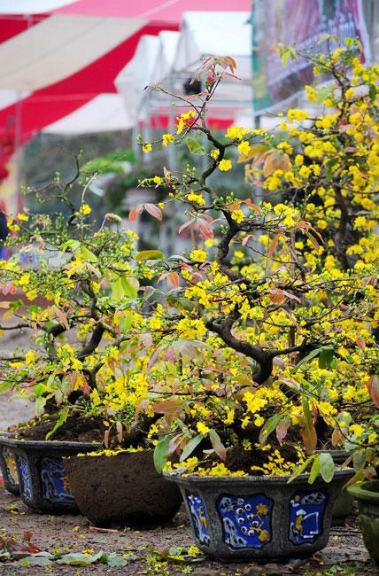 Mai vàng Bình Định vượt ngàn cây số đón Tết ở Thủ đô - 1