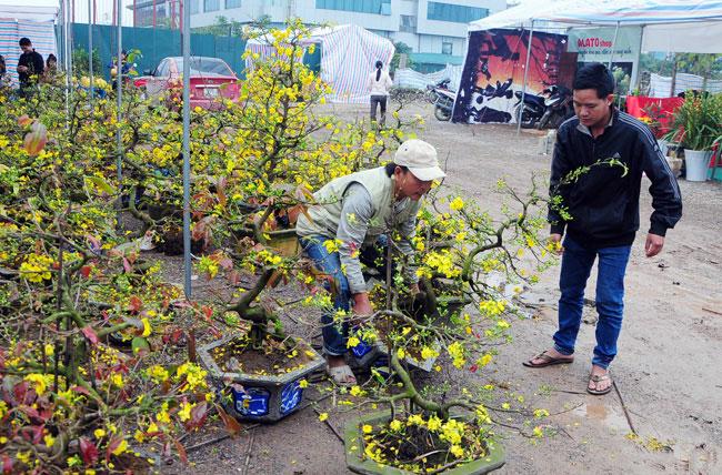 Mai vàng Bình Định vượt ngàn cây số đón Tết ở Thủ đô - 12