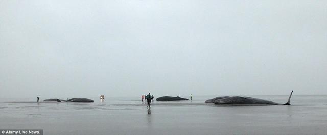 8 cá voi hàng chục tấn đồng loạt mắc cạn ở Đức - 1