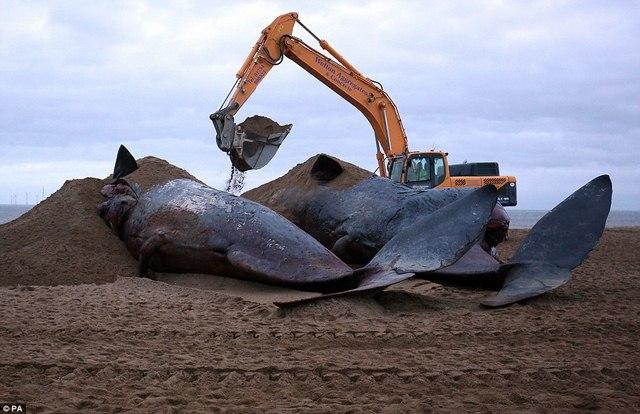 8 cá voi hàng chục tấn đồng loạt mắc cạn ở Đức - 4