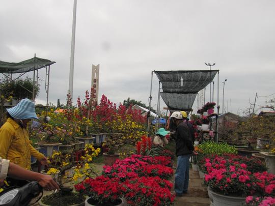Cây mai cổ rao giá 2 tỉ đồng ở Đà Nẵng - 5
