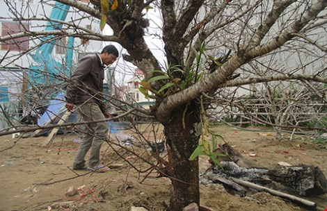 Một cành đào Lào nhập vào Việt Nam giá hơn 30 triệu đồng - 1