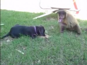 Video clip: Năm Thân xem Khỉ trêu chó