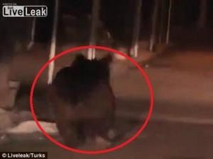 Video gấu nâu chạy tung tăng, cắn người trên phố