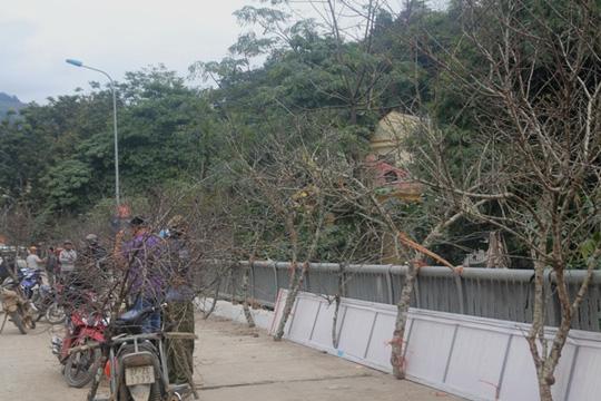 Săn đào đá Lào về chơi tết - 1