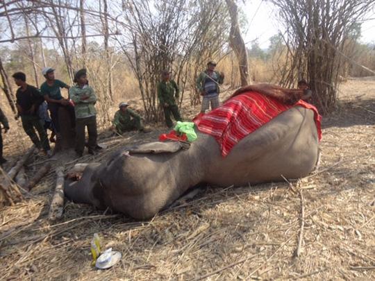 Chú voi rừng Việt Nam khiến chuyên gia quốc tế xúc động - 1