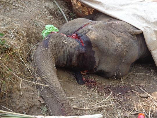 Chú voi rừng Việt Nam khiến chuyên gia quốc tế xúc động - 2