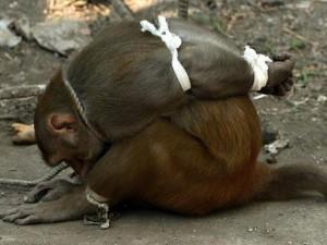 Ấn Độ: Khỉ bị trói giật cánh khuỷu vì tội ăn cắp