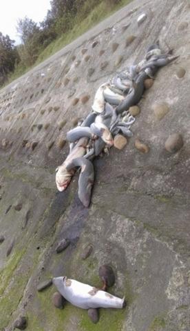 TQ: Chục con cá mập dạt bờ, vây bị cắt sạch - 1