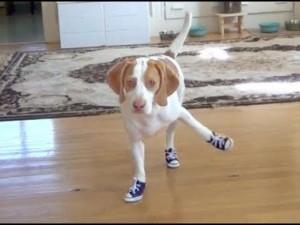 Clip: Cười không ngớt khi cún cưng lần đầu đi giày