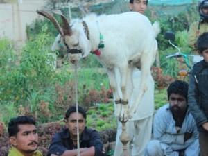 Khó tin: Chú dê ở Pakistan có khả năng làm xiếc như khỉ