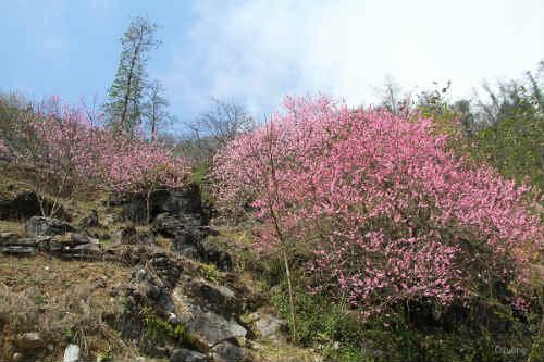 Ngắm 'thiên đường hoa' trên cao nguyên đá - 1