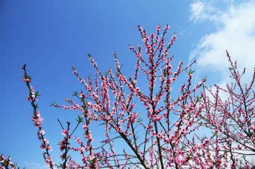 Ngắm 'thiên đường hoa' trên cao nguyên đá - 11