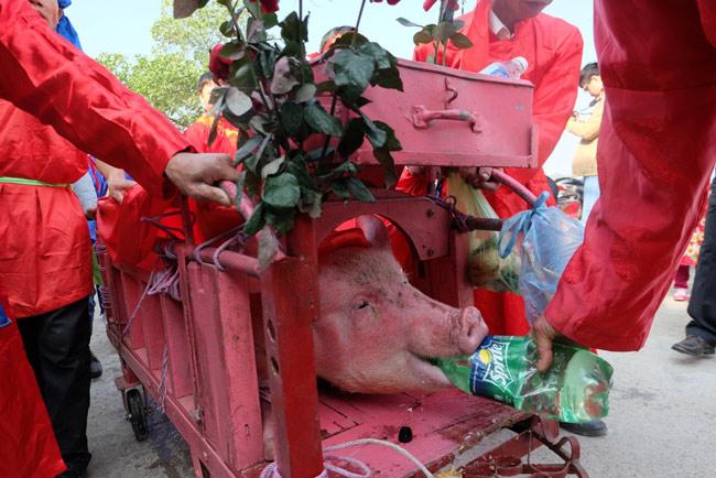 """Lễ hội chém lợn Ném Thượng: """"Ông ỉn"""" bị chém trong nhà kín - 7"""