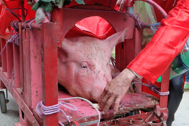 """Lễ hội chém lợn Ném Thượng: """"Ông ỉn"""" bị chém trong nhà kín - 8"""