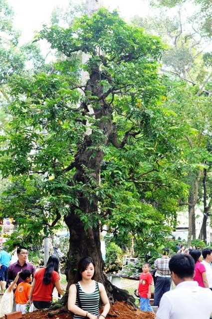 """Ngắm cây khế """"hái vàng"""" tại Hội hoa xuân TP.HCM - 1"""