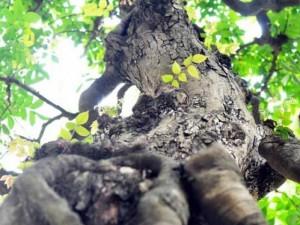 """Ngắm cây khế """"hái vàng"""" tại Hội hoa xuân TP.HCM"""