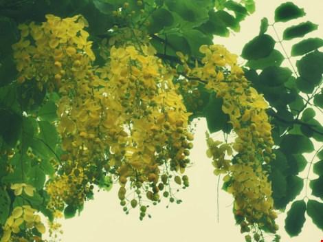 Xôn xao mùa hoa bò cạp giữa Sài thành - 7