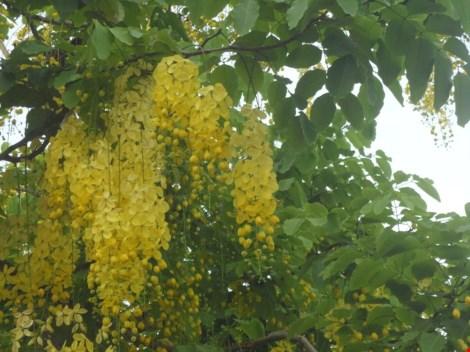 Xôn xao mùa hoa bò cạp giữa Sài thành - 9