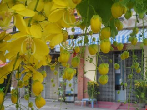 Xôn xao mùa hoa bò cạp giữa Sài thành - 6