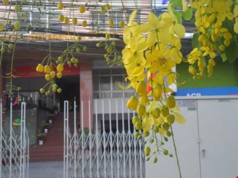 Xôn xao mùa hoa bò cạp giữa Sài thành - 2