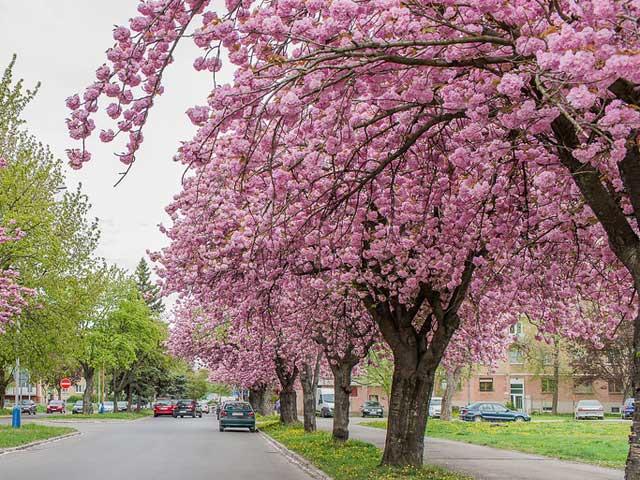 Nhật Bản đề nghị tặng Hà Nội 200 cây hoa anh đào - 1