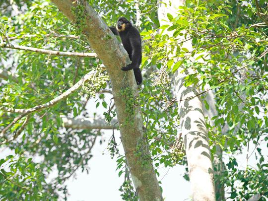 Vào vườn quốc gia Cát Tiên xem voọc mắc cỡ - 2