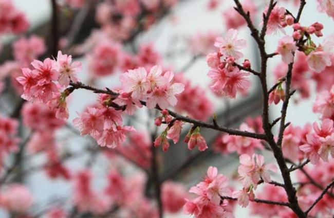 Trồng hoa anh đào ở Hà Nội có thực sự phù hợp? - 1