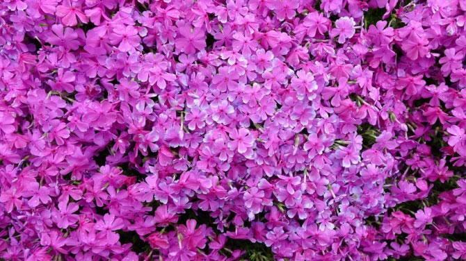 Cụ ông trồng vườn hoa khổng lồ để vợ mù ngửi hương - 3