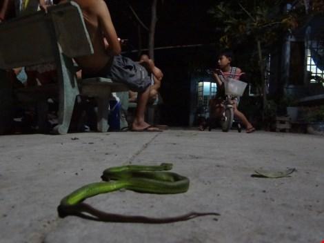 Rắn lục đuôi đỏ đu bên cửa ở Sài Gòn - 4