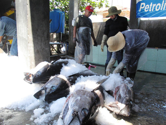Tư thương ép giá cá ngừ đại dương - 3