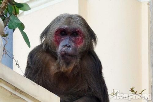 Hà Nội: Khỉ mặt đỏ náo loạn khu dân cư - 2