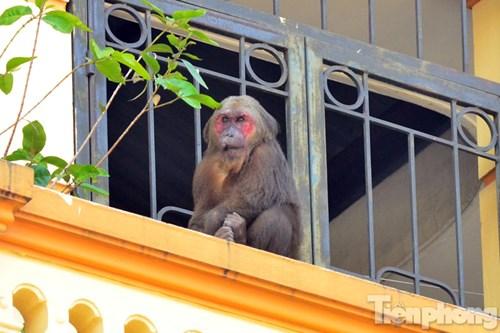 Hà Nội: Khỉ mặt đỏ náo loạn khu dân cư - 4