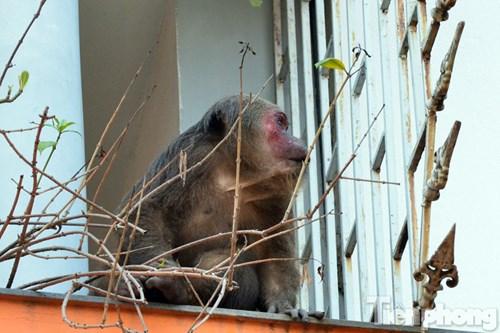 Hà Nội: Khỉ mặt đỏ náo loạn khu dân cư - 5