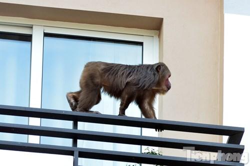 Hà Nội: Khỉ mặt đỏ náo loạn khu dân cư - 6