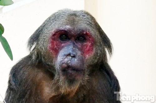 Hà Nội: Khỉ mặt đỏ náo loạn khu dân cư - 7