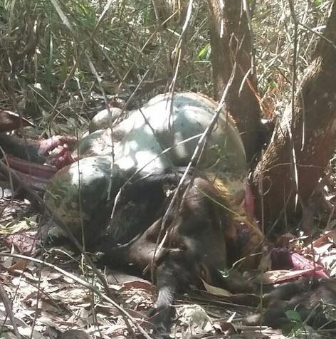 Đồng Nai: Bò tót nặng 200kg nghi bị bắn chết lấy thịt - 1