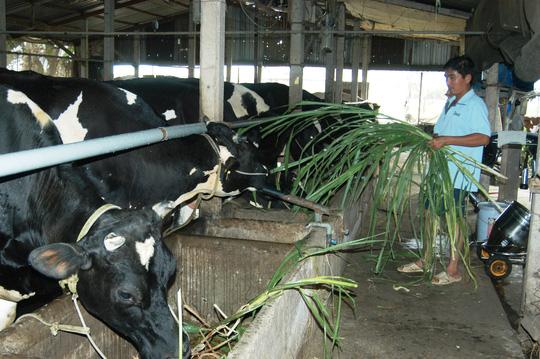 """Đàn bò sữa """"ngơ ngác"""" trước hội nhập - 1"""