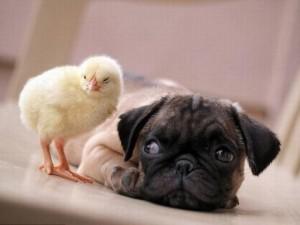 """Bạn trẻ - Cuộc sống - Clip dễ thương """"điên đảo"""" của loài chó pug"""