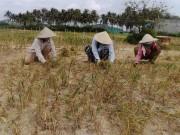 Thị trường - Tiêu dùng - Tỏi Lý Sơn mất mùa ở... Khánh Hòa