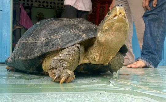 """Chủ nuôi đi cùng công an đến """"xin"""" lại con rùa 14 kg - 1"""