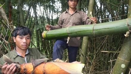 Cận cảnh loài tre khổng lồ, báu vật trên núi cao Quảng Nam - 1