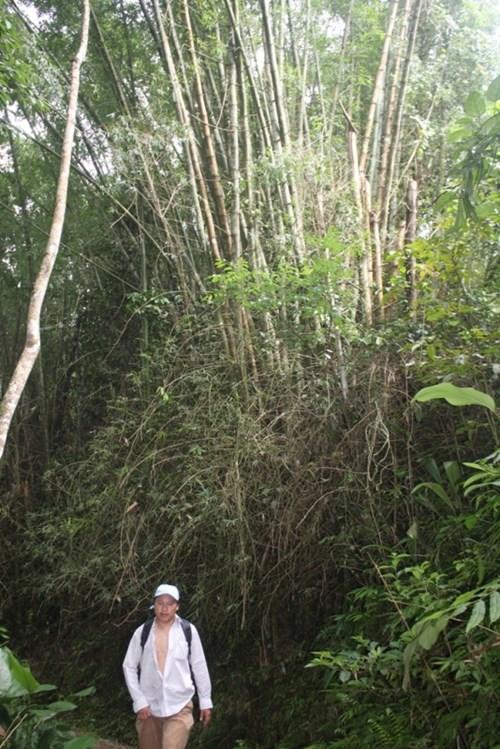 Cận cảnh loài tre khổng lồ, báu vật trên núi cao Quảng Nam - 2
